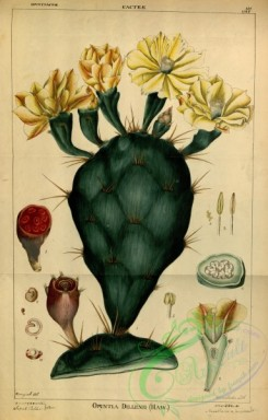 indian_plants-00372 - opuntia dillenii