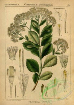 indian_plants-00379 - pluchea indica