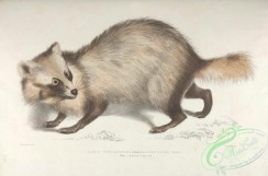 indian_zoology-00001 - 001-Racoon-faced Dog, canis procyonoides