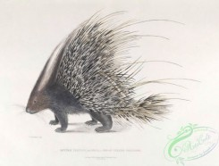 indian_zoology-00014 - 014-Indian Crested Porcupine, hystrix cristata indica