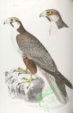 indian_zoology-00026 - 026-Jugger Falcon, falco jugger
