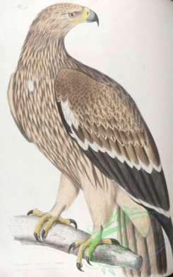 indian_zoology-00028 - 028-Golden Eagle, aquilla imperialis