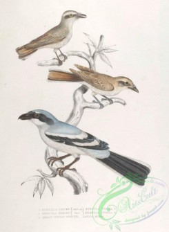 indian_zoology-00033 - 033-Keroula Shrike, keroula indica, Great Indian Shrike, lanius burra