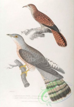 indian_zoology-00034 - 034-Slender-billed Cuckoo, cuculus tenuirostris, Shrow Cuckoo, cuculus lathami