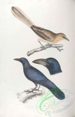 indian_zoology-00036 - 036-Pale Eared Jay, garrulus albifrons, Large billed Crow, corvus macrorhynchus