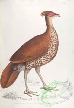 indian_zoology-00039 - 039-Fire Backed Crested Pheasant