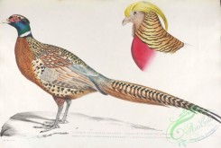 indian_zoology-00041 - 041-Chinese Ring Necked Pheasant, phasianus torquatus