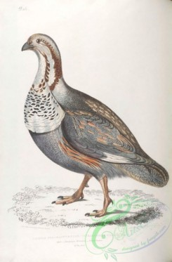 indian_zoology-00046 - 046-Pheasant-Grouse, tetraogallus nigellii