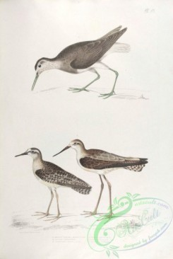 indian_zoology-00051 - 051-White tailed Sandpiper, totanus leucurus, Allied Sandpiper, Snipe