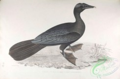 indian_zoology-00056 - 056-Pigmy Cormorant