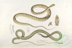 indian_zoology-00080 - 080-Spotted Bellied Snake, coluber ventromaculatus, Tree Snake