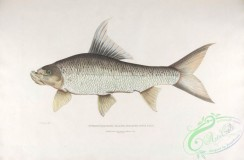 indian_zoology-00097 - 097-Falcated Rock Carp, cyprinus (bangana) falcata