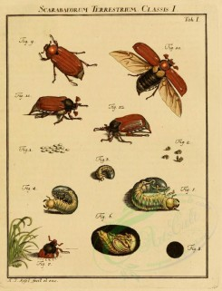insects-02240 - 006-Beetles, Scarabaeous [1711x2237]