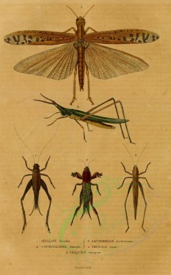insects-02615 - 002-gryllus, circket, courtilliere, sauterelle, truxale [1542x2476]
