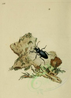 insects-03019 - 506-carabus [1735x2382]