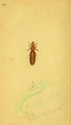 insects-03146 - 291-pediculus [1907x3338]