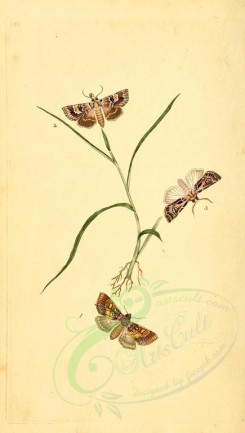 insects-03195 - 340-phalaena [1913x3370]