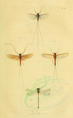 insects-03259 - 006-caenis, baetis, cloeon, agrion [1881x3049]
