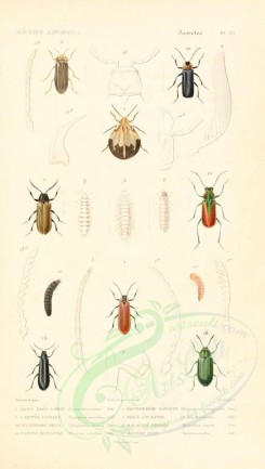 insects-04029 - 032-lycus, dictyoptera, lampyris, drilus, dasytes, melyris [1720x3036]