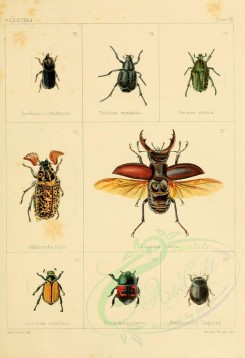 insects-04684 - synedendron, trichius, cetonia, melolontha, lucanus, amsoplia, hister, dendrophilus [1927x2815]