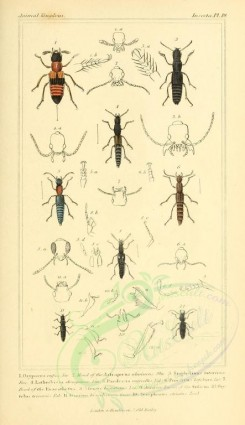 insects-04883 - 006-oxypaeus, staphylinus, lathrobium, paederus, stenus, zyrophorus [1831x3174]
