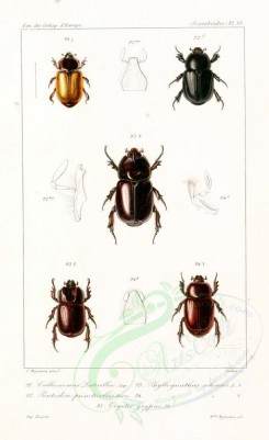 insects-05542 - 061-callicnemis, phyllognathus, pentodon, oryctes [1482x2424]