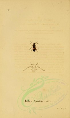 insects-05795 - 021-helluo [1836x3094]