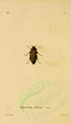 insects-05805 - 031-buprestis [1785x3094]
