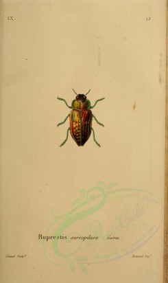 insects-05886 - 031-buprestis [2295x3853]
