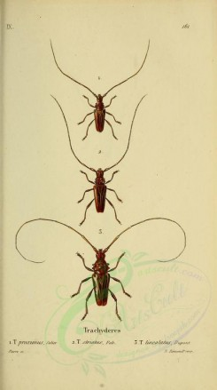 insects-05972 - 030-trachyderes [2179x3897]