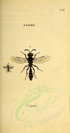 insects-06448 - 012-sphex [2198x4169]