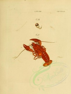 insects-06727 - 032-cancer, Crayfish [2237x2936]