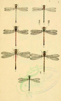 insects-10128 - 009-agrion, pyrrhosoma, erythromma, ischnura [1918x3159]
