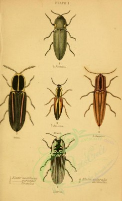 insects-10156 - 037-elater [1902x3133]