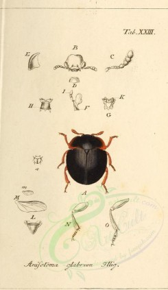 insects-10431 - 066-anisotoma [2010x3465]