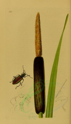 insects-10883 - 111 donacia [1889x3278]