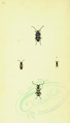 insects-11991 - 059-leptura [1769x3108]