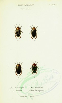 insects-12209 - 025-laccophilus [2014x3313]