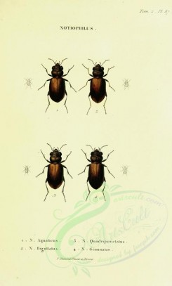 insects-12253 - 069-notiophilus [1948x3236]