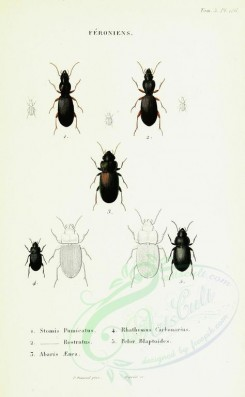 insects-12322 - 138-stomis, rhathymus, abaris, pelor [1965x3181]
