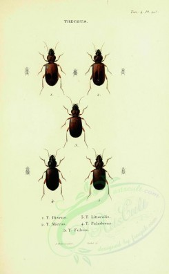 insects-12369 - 185-trechus [2058x3324]