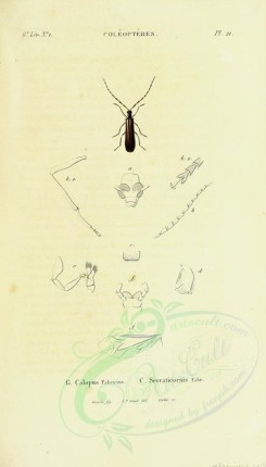 insects-12480 - 026-calopus [1883x3296]