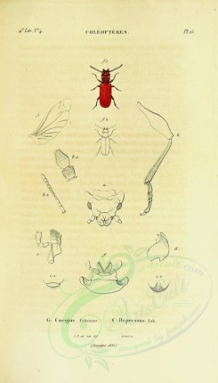 insects-12484 - 030-cucujus [1883x3296]