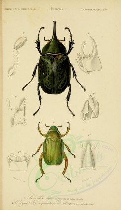 insects-13546 - 010-scarabaeus, chrysophora [2123x3677]