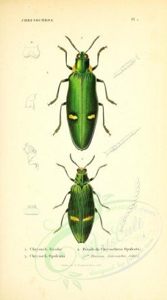 insects-14195 - 028-chrysochroa [2505x4464]