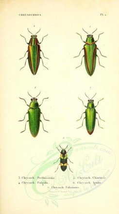 insects-14196 - 029-chrysochroa [2505x4464]