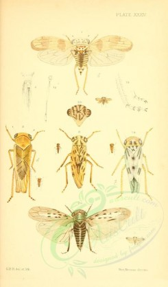 insects-16416 - 034-idiocerus [1838x3133]