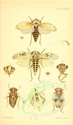 insects-16418 - 036-agallia [1838x3133]