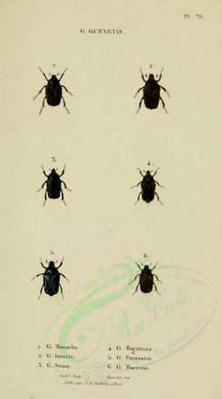 insects-17478 - 069-gymnetis [1751x3142]