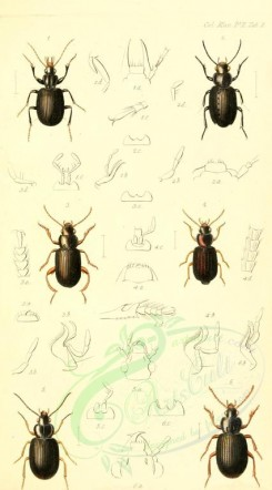 insects-17520 - dirotus, gnathaphanus, hypharpax, dioryche, hyphaereon, caelostomus [1783x3214]